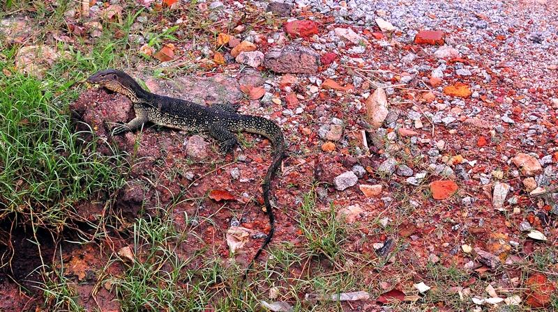 Small Monitor Lizard