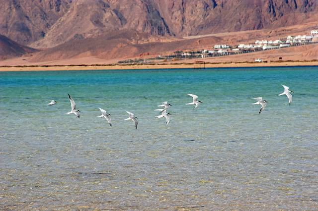 Birds flying on the red sea, Dahab, Egypt, North Africa, Africa